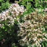 Gewöhnlicher Wasserdost (Eupatorium cannabinum)