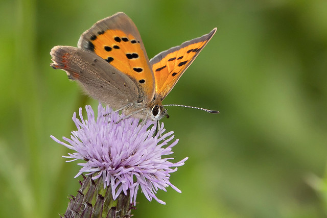 Kleine Vuurvlinder-Small Copper (Lycaena phlaeas)