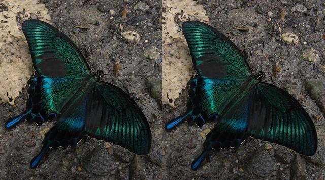 Papilio maackii, stereo cross view