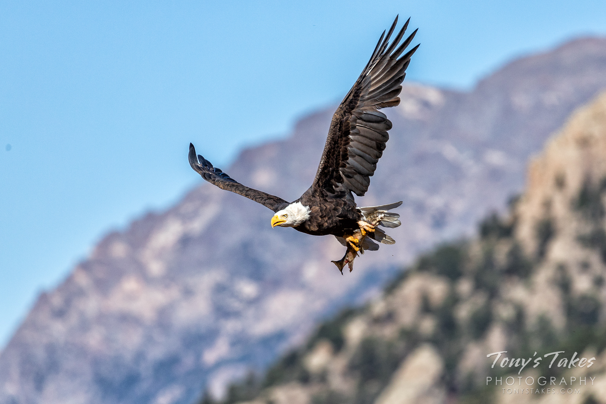 High country Bald Eagle makes off with breakfast