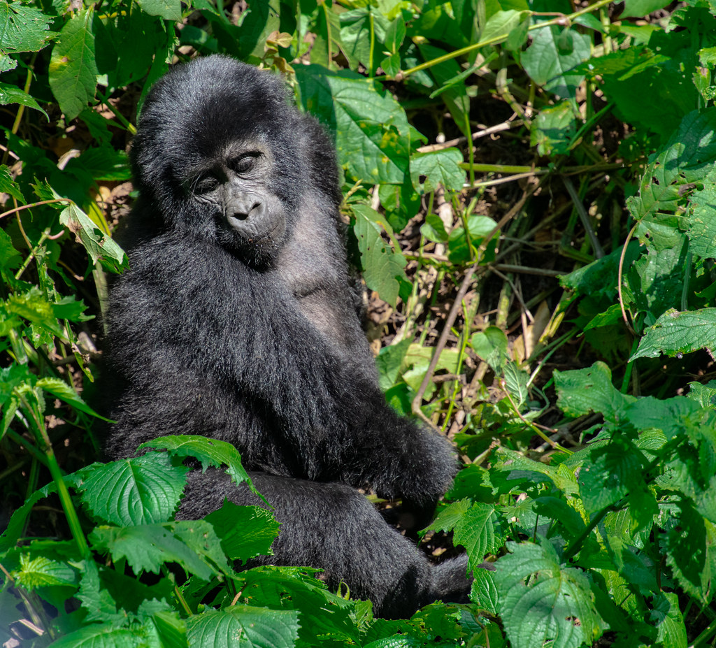 Mountain Gorilla_10