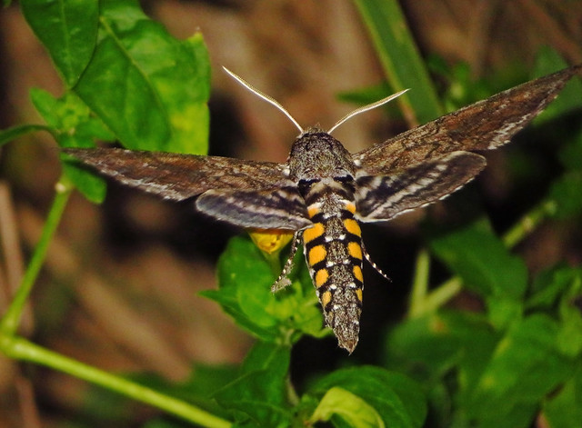 Carolina Sphinx Moth