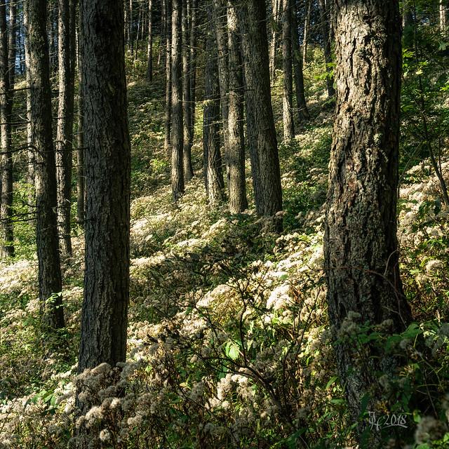 2018 Fluffy woods