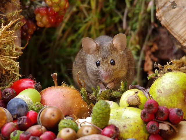 Autumn mouse with fruits and berries (5)