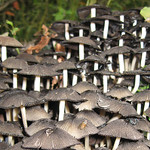 Unbestimmte Pilzart Nr. 5 im Schellenberger Wald