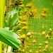 Ceiba trichistandra - Photo (c) ekenitr, some rights reserved (CC BY-NC)