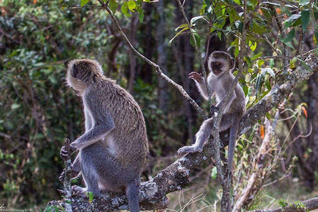 Maasai Mara_13sep18_18_vervet monkey
