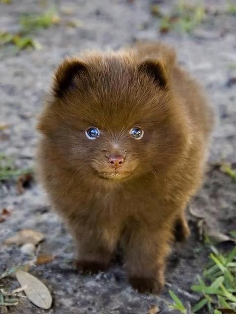 ~ Chocolate Pomeranian - Adorable ~.