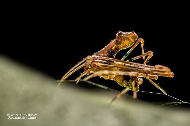 Assassin spider / Pelican spider (Eriauchenius sp.) - DSC_8754