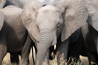 Little elephant, big ears. Tarangire   by Laura Jacobsen