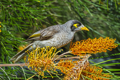 Noisy Miner (1) | by bidkev1 and son (see profile)