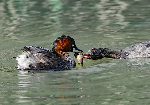 A little grebe chick and a parent