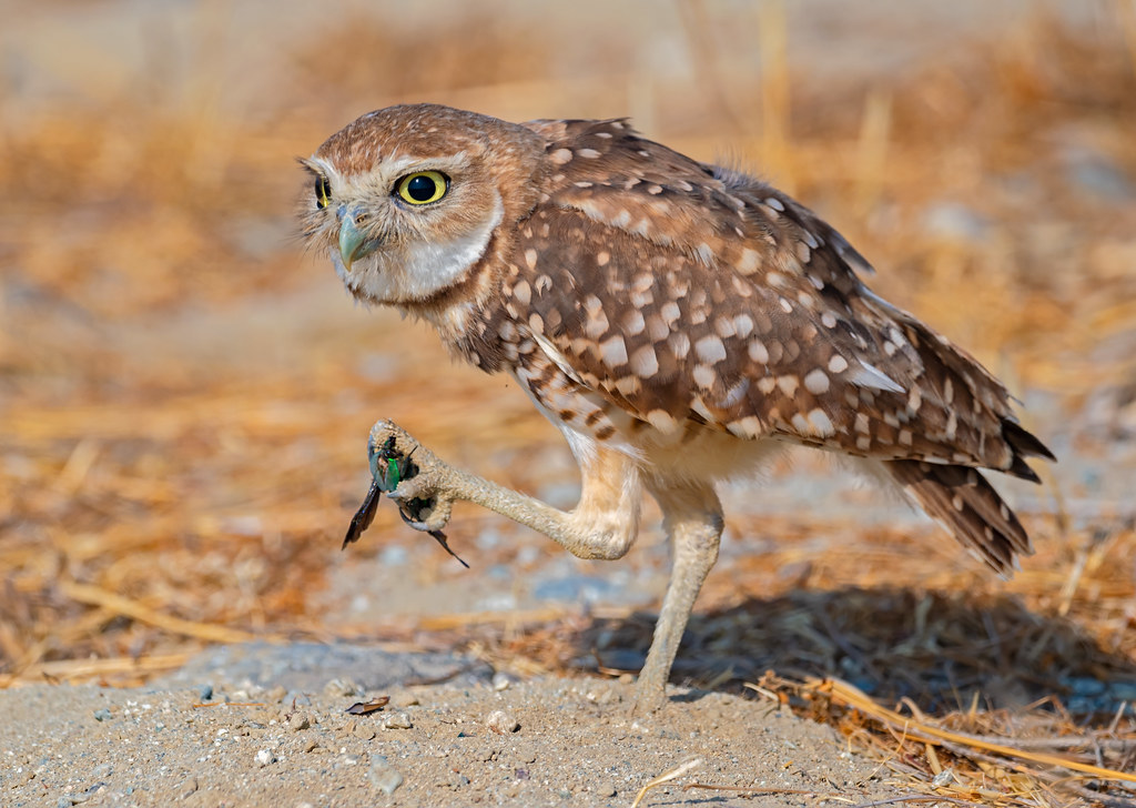 The bug hunter | A delight to shoot a burrowing owl family