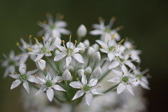 society garlic