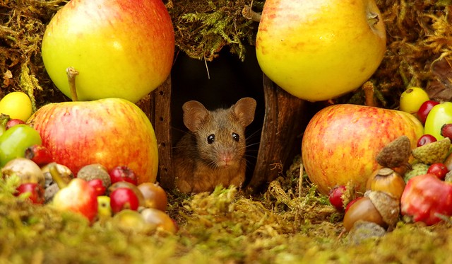 wild house mouse with autumn fruits apples and nuts (9)