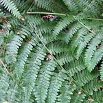 Adlerfarn (Pteridium aqulilinum) im Schellenberger Wald
