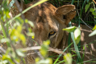 Lion in the grass | by Laura Jacobsen