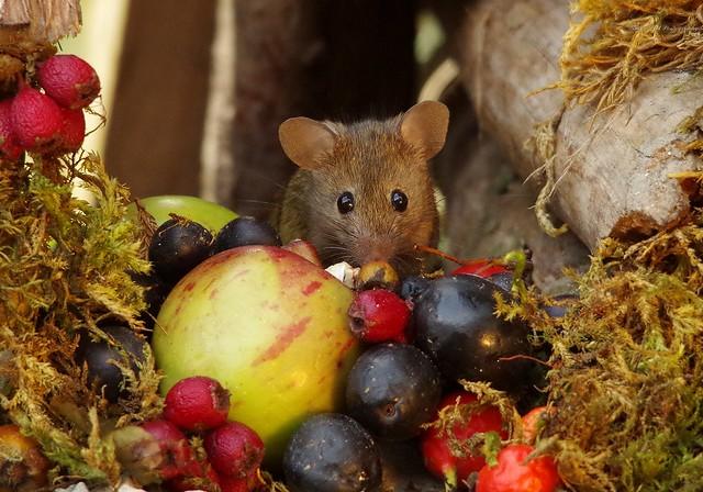 wild garden house mouse (6)