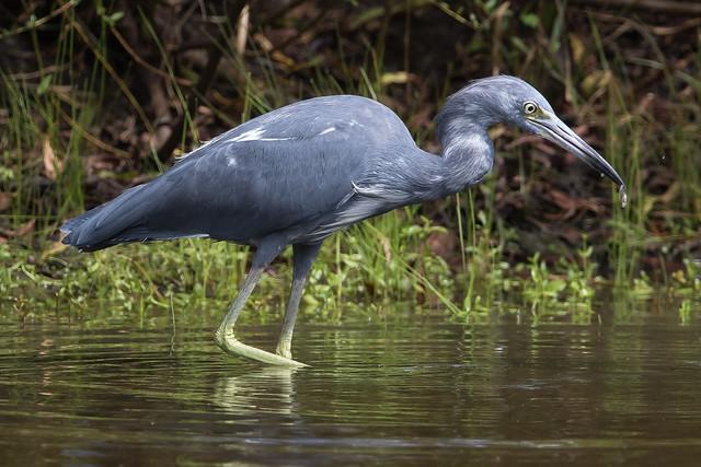 Immature Little Blue Heron-2