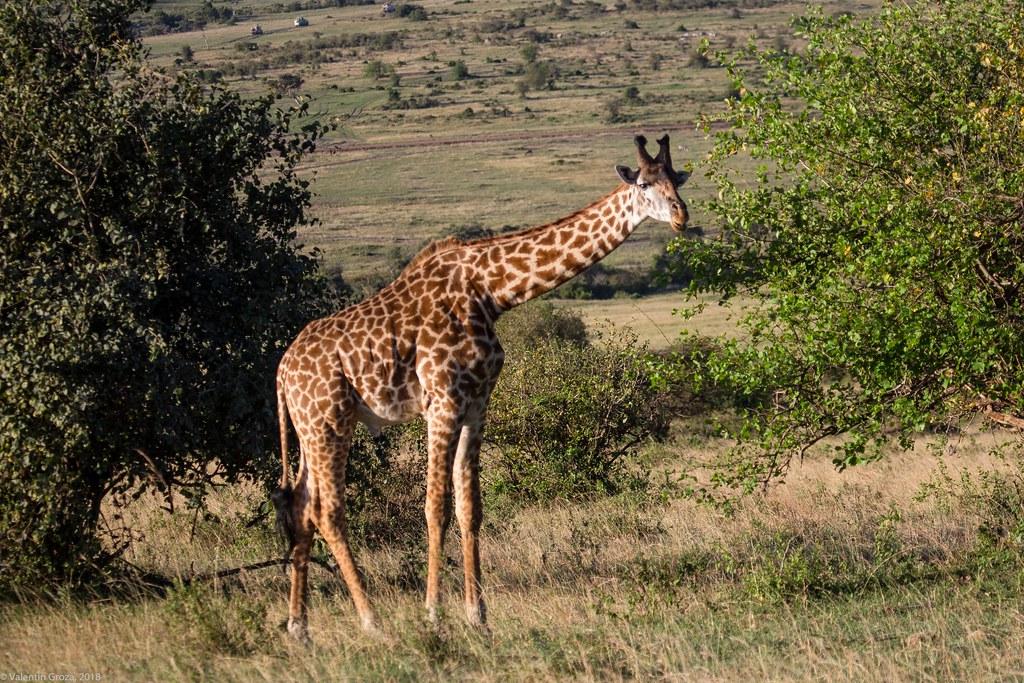 Maasai Mara_13sep18_07_girafa