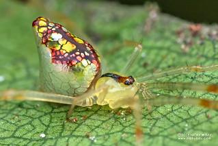 Comb-footed mirror spider (Thwaitesia sp.) - DSC_2382b