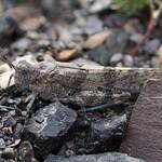 Blauflügelige Sandschrecke (Blue Sand-Grasshopper, Sphingonotus caerulans)