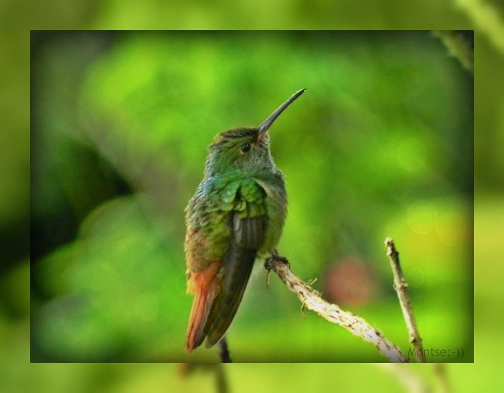 Colibrí. Costa Rica