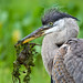 Juvenile GBH with Dinner by Karen 571