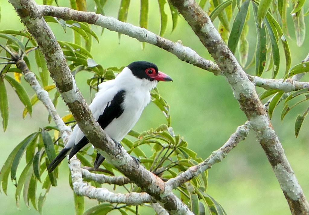 Titira Colinegra, Western Black-tailed Tityra (Tityra cayana)