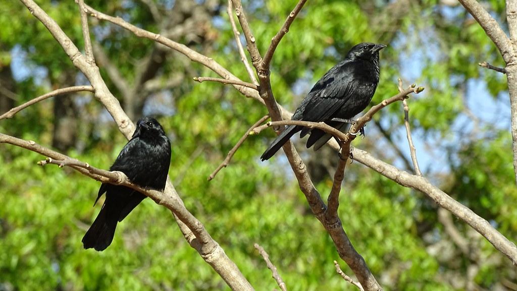 Pássaro-preto