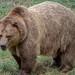 Brown Bear by Stefan Beckhusen