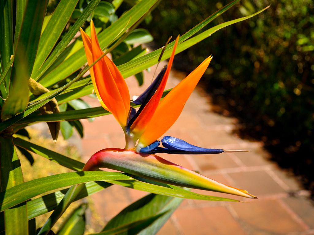 Fiori Uccelli Del Paradiso.Fiore Uccello Del Paradiso Strelitzia Reginae Valdimiro