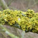 Gewöhnliche Gelbflechte (Xanthoria parietina) im NSG Flittarder Rheinaue
