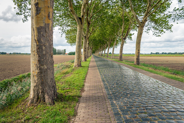 Plane trees along a road with cobblestones