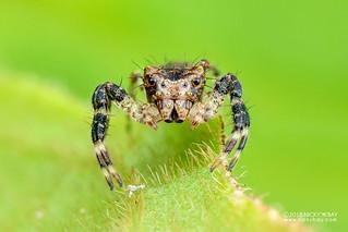 Crab spider (cf. Apyretina sp.) - DSC_0404 | by nickybay