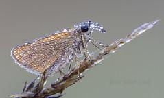 Zwartsprietdikkopje - Essex Skipper - Thymelicus lineola