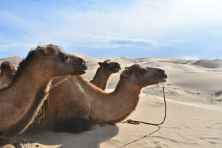 Expedition on Bactrian camels in the Gobi Desert of Mongolia (70) | by Prof. Mortel