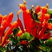 Pyrostegia venusta ...Flor de san Juan  ...Trompetero naranja...Liana de llama