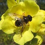 Mistbiene (European Hoverfly, Eristalis tenax)