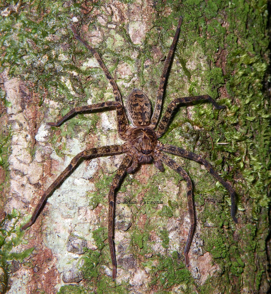 heteropoda species d002 thornleigh nsw