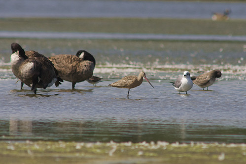 Marbled Godwit & Canada Geese | by 9brandon