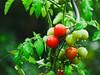 2018:09:12 17:33:23 - Garden Tomatoes Bokeh - Tarbek - Schleswig-Holstein - Germany by torstenbehrens