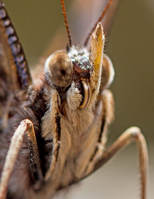 The face of a Red Admiral