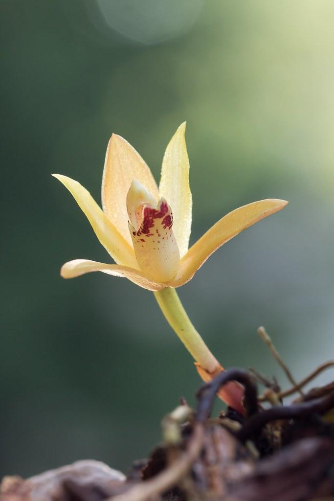 Maxillaria rufescens 5148-1; Orchidaceae (2)