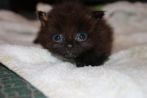 It's Still Kitten Season! Cats and Kittens at Crafty Cat Rescue (Ann Arbor, Michigan) - Wednesday August 29th, 2018   by cseeman