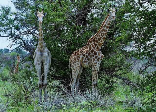 South African Giraffes (Giraffa camelopardalis giraffa)