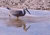 White faced heron fishing - tEgretta novaehollandiaehe catch - by Maureen Pierre