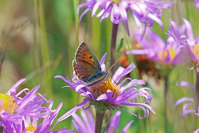 Purple-edged Copper (Lycaena hippothoe), Stelvio, Lombardia, Italy