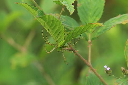 lynx spider lynxspider lakehorton fayettevillegeorgia