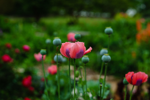 Pink and Purple (opium) Poppies   by Aaron Stidwell